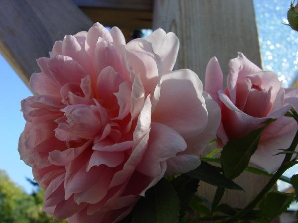 baird's rose