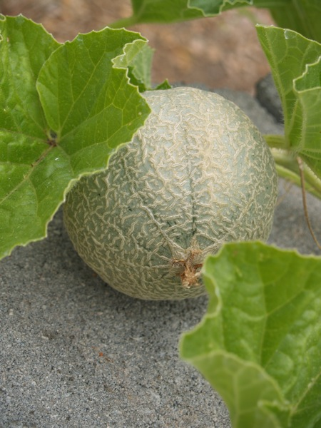 cantaloupe without flower