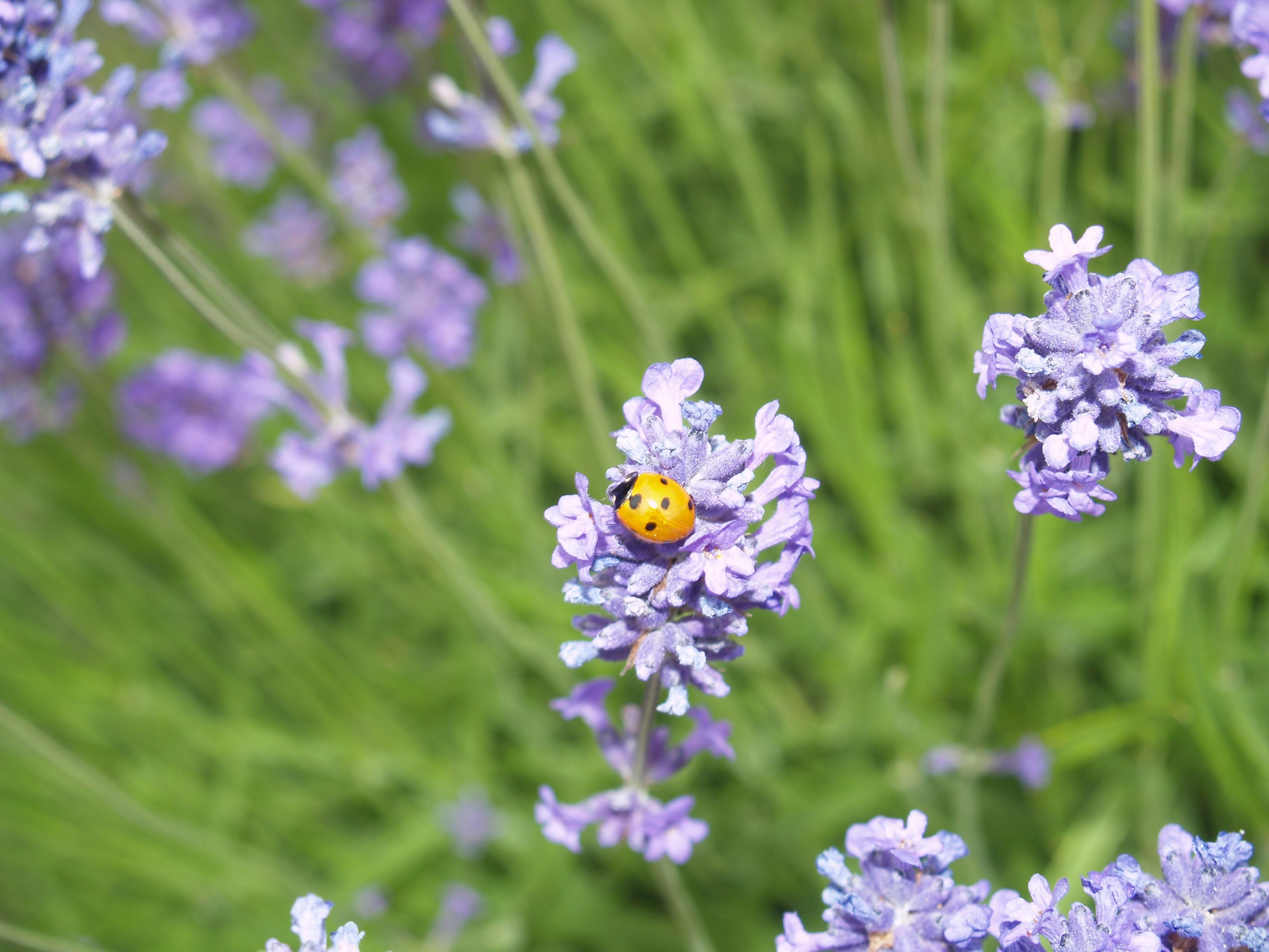 Ladybug Lavender