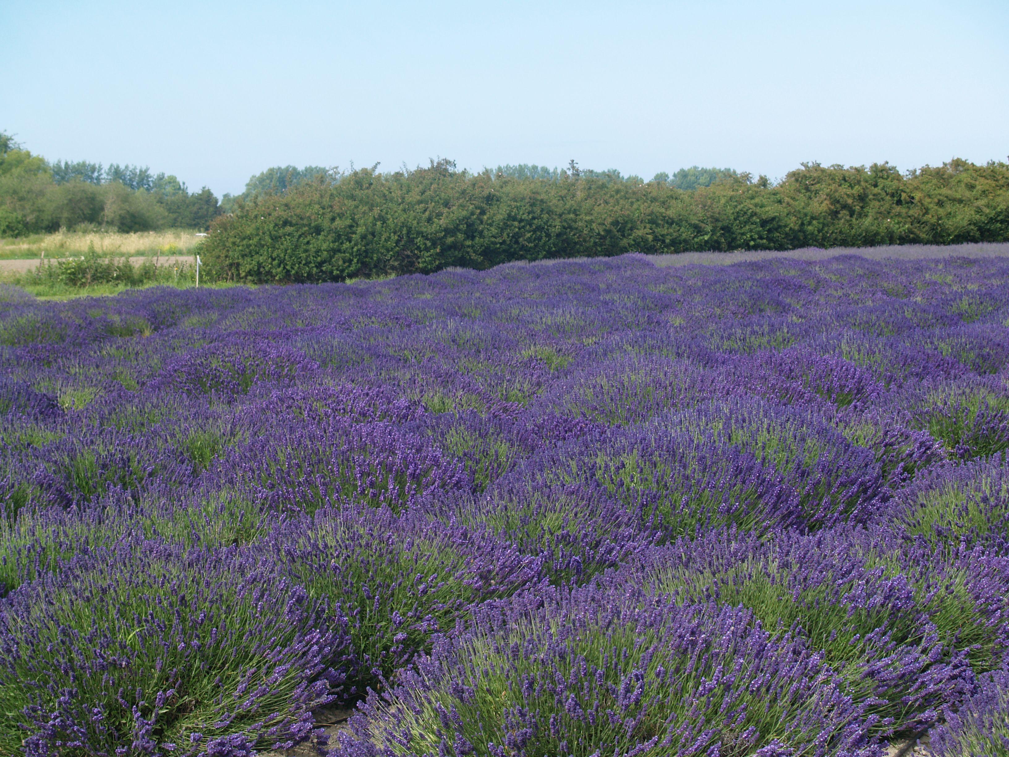 Lodden Blue Lavender