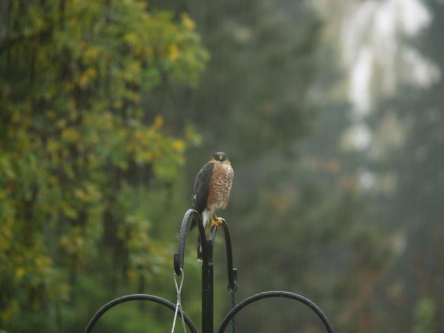 Wet Hawk On The Birdfeeder