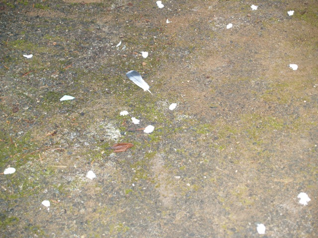 Pigeon Feathers In The Driveway
